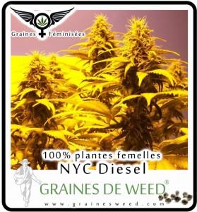 Graines femelles de cannabis for Graine de weed exterieur